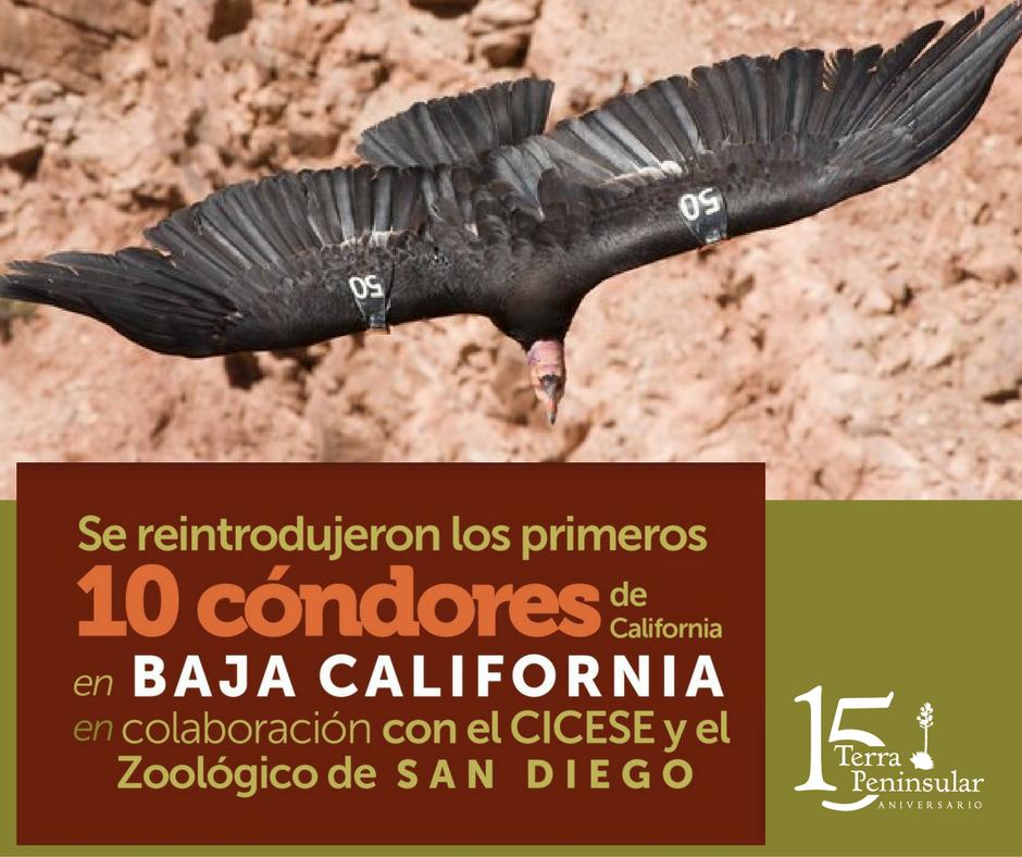 Se reintrodujeron los primeros 10 cóndores de California (Gymnogyps californianus) en Baja California, en colaboración con CICESE y el Zoológico de San Diego.