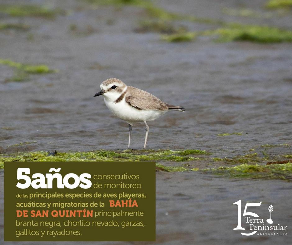 Hemos realizado monitoreo de las principales especies de aves playeras, acuáticas y migratorias de la bahía de San Quintín por 5 años consecutivos, principalmente la branta negra, chorlito nevado, garzas, gallitos y rayadores.
