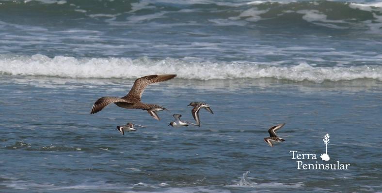 Ayudemos a proteger a las aves playeras