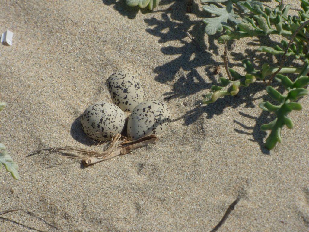 Los chorlos nevados ponen sus nidos en las playas arenosas entre abril y agosto. Foto: Jonathan Vargas.