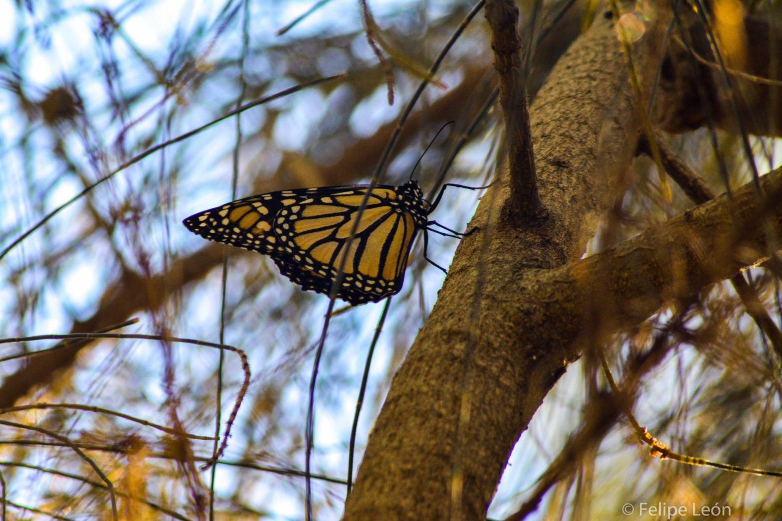 Mariposa monarca. Foto por Felipe León