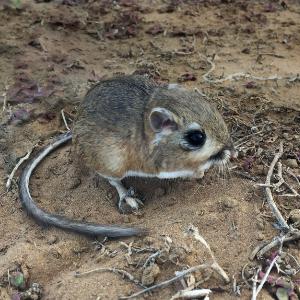 Rata canguro de San Quintín