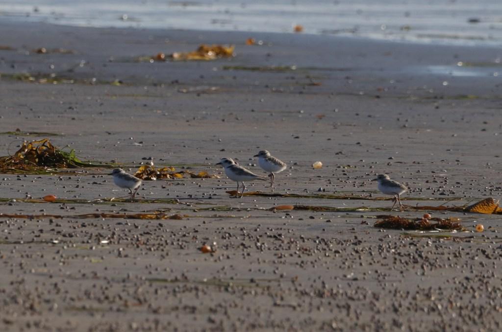 Familia de chorlitos. Macho cuidando a tres pollos de 3 semanas de edad en la playa frente al campo militar del Ciprés